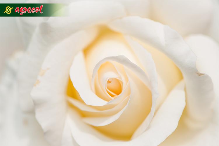 roża1