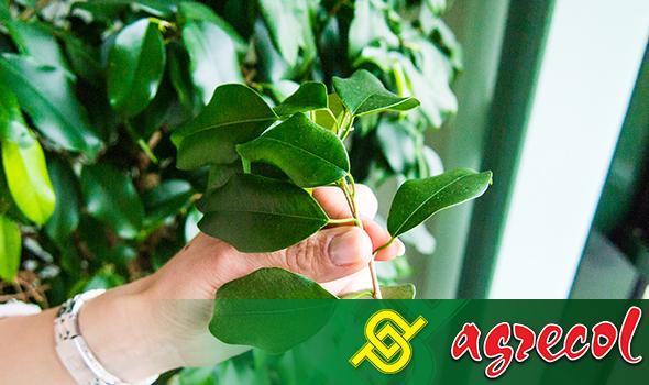 Z fikusa wycinamy gałązkę z 8-10 odgałęzieniami liści