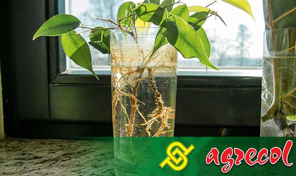 pierwsze korzenie możemy zaobserwować po 3–4 tygodniach od momentu rozpoczęcia ukorzeniania