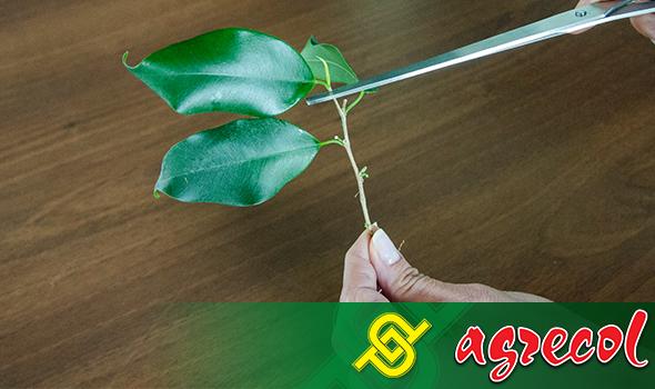 ukorzenianie fikusa - górną część rośliny ucinamy tak, aby zostały dwa odgałęzienia