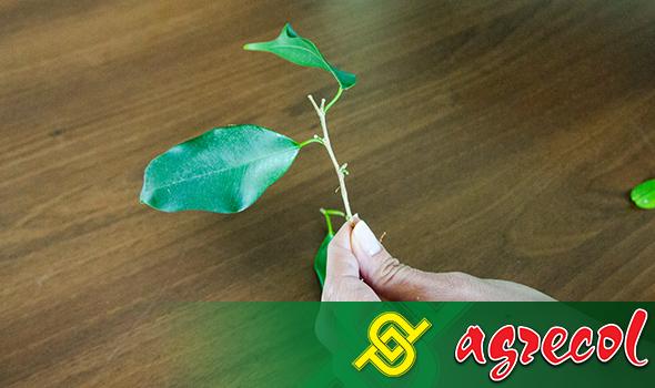 Fikus - cięcie stymuluje roślinę do wytworzenia około 7–8 nowych odgałęzień