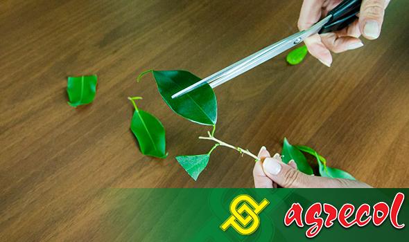 fikus - Liczbę liści należy zmniejszyć do 2–3