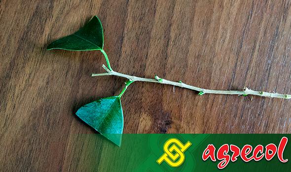 Fikus - zbyt duże liście warto przyciąć w połowie, prostopadle do unerwienia