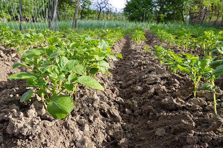 uprawa kartofli