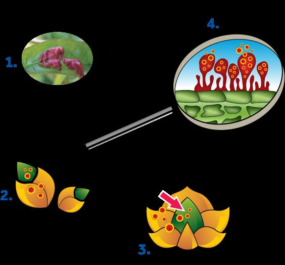 cykl-rozwojowy-grzyba