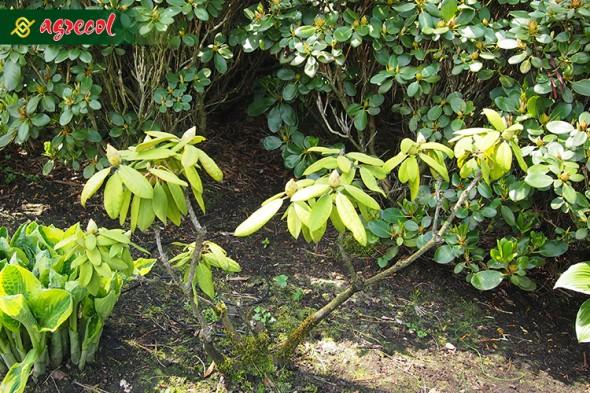 oślina z niedoborem azotu w porównaniu z roślinami prawidłowo odżywionymi rośnie słabo, a jej liście są wyraźnie jaśniejsze