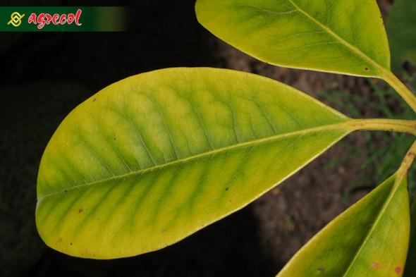 Przebarwione na żółto liście z niedoborem azotu
