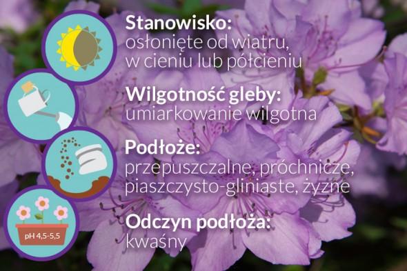 wymagania rododendronow