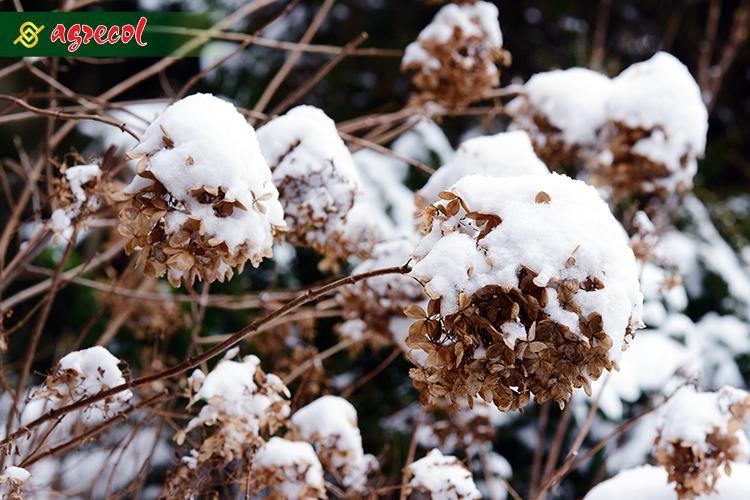 hortensja zima